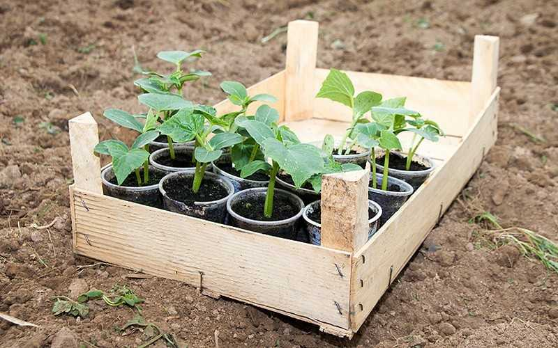 огурцы на рассаду как правильно посадить