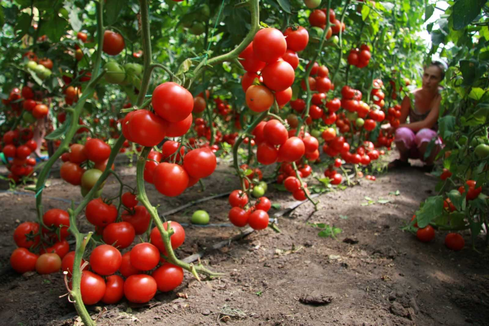 какие семена помидор садят в теплицу