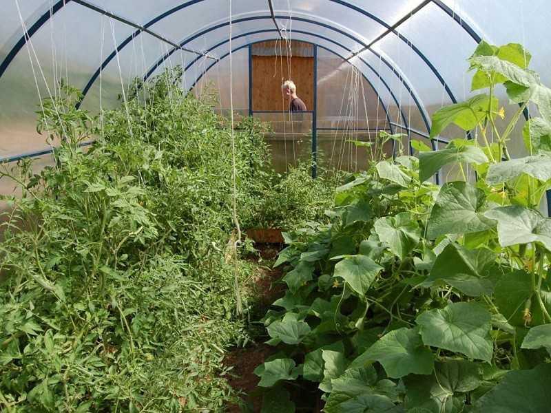 теплица как сажать помидоры и огурцы