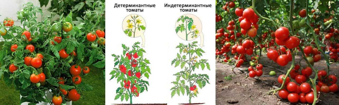 вырасти помидоры