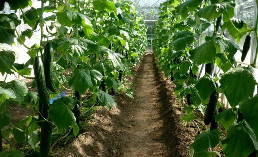 как правильно посадить огурцы осенью