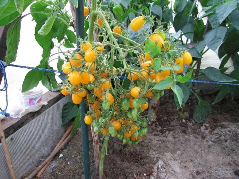 желтые помидор