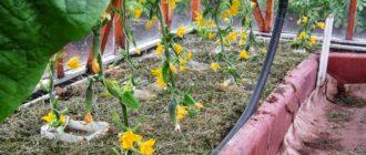 посадить огурцы в октябре