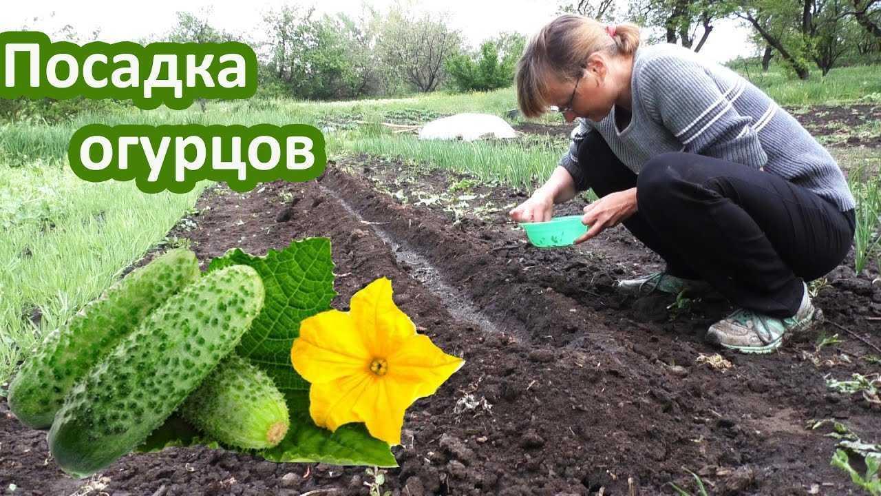 как сажать огурцы в открытый грунт семенами