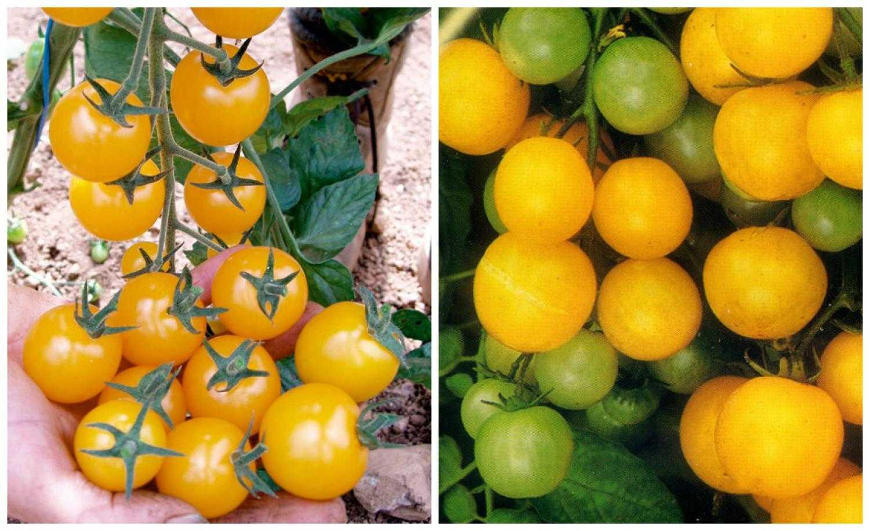 желтые сорта помидор