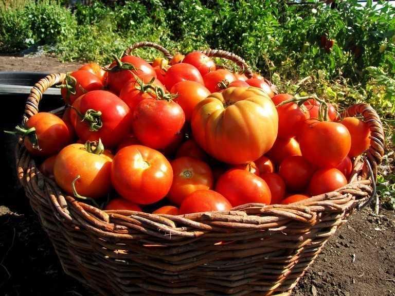 какие помидоры урожайные
