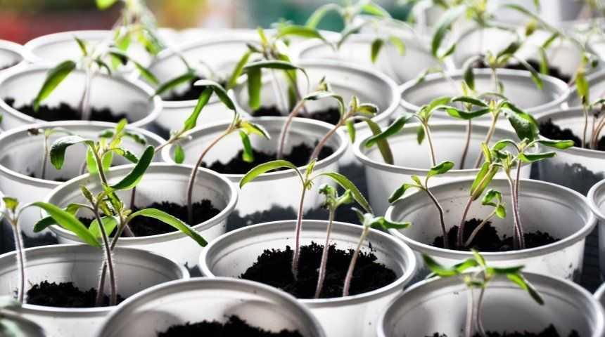 выращиваем огурцы и помидоры