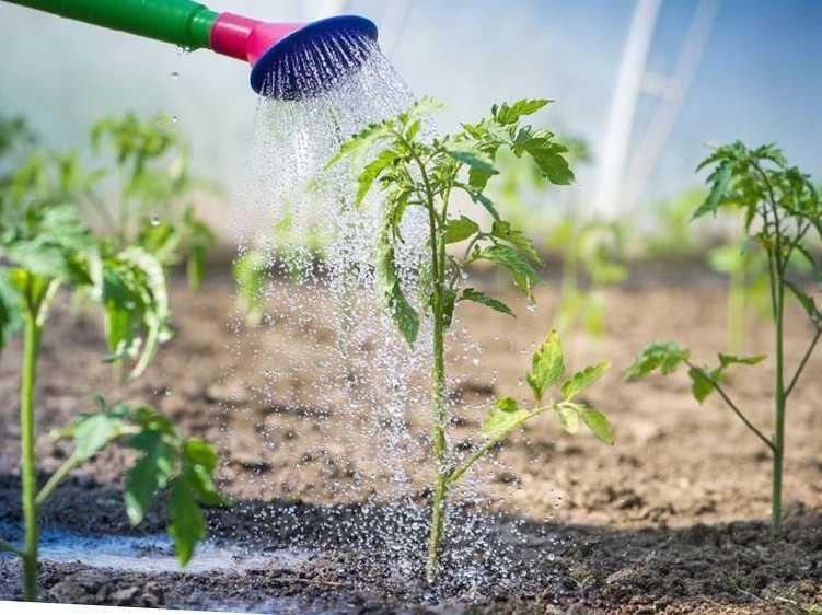 Как собрать большой урожай помидоров