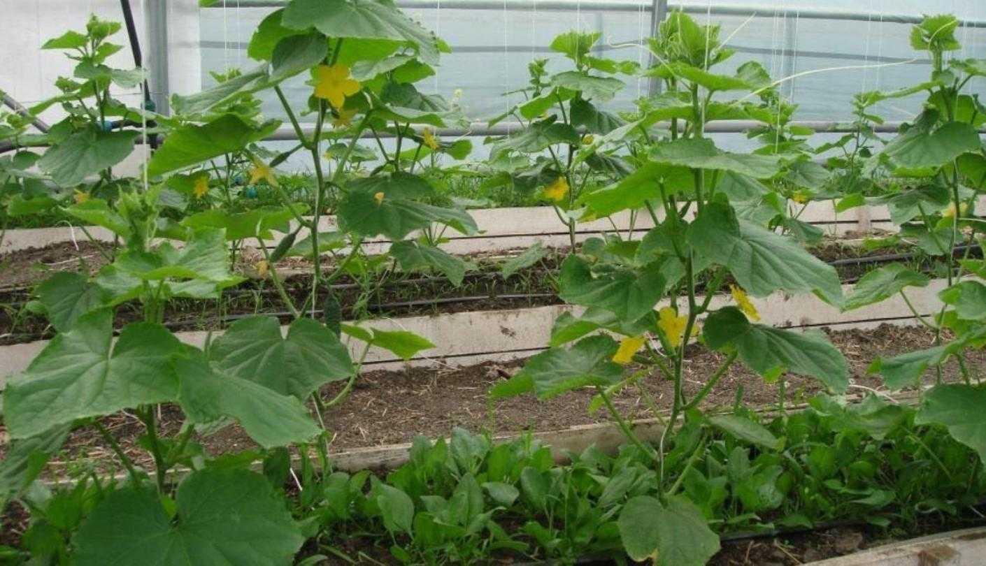 второй урожай огурцов