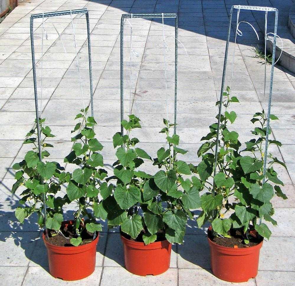 как посадить огурцы в ведре