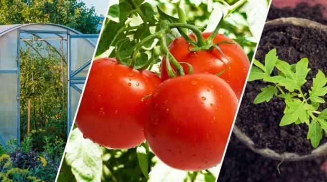 какие семена помидор лучше сажать