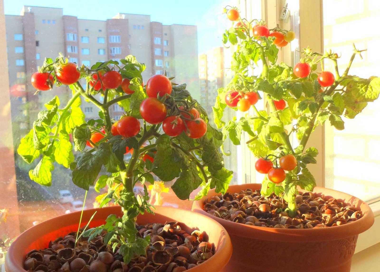 как выращивать помидоры зимой