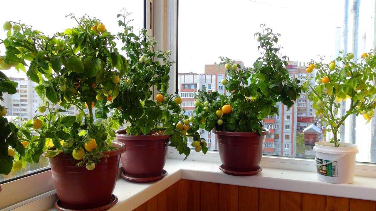 Зимняя грядка на подоконнике: выращиваем помидоры