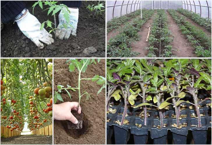 сколько помидор можно посадить в теплице
