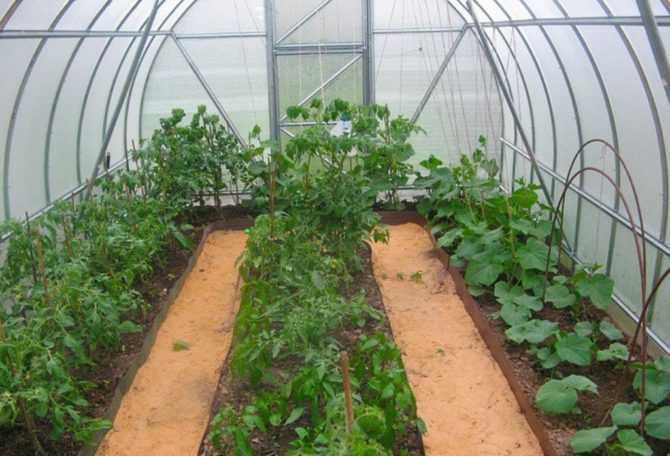 как посадить помидоры огурцы в теплице