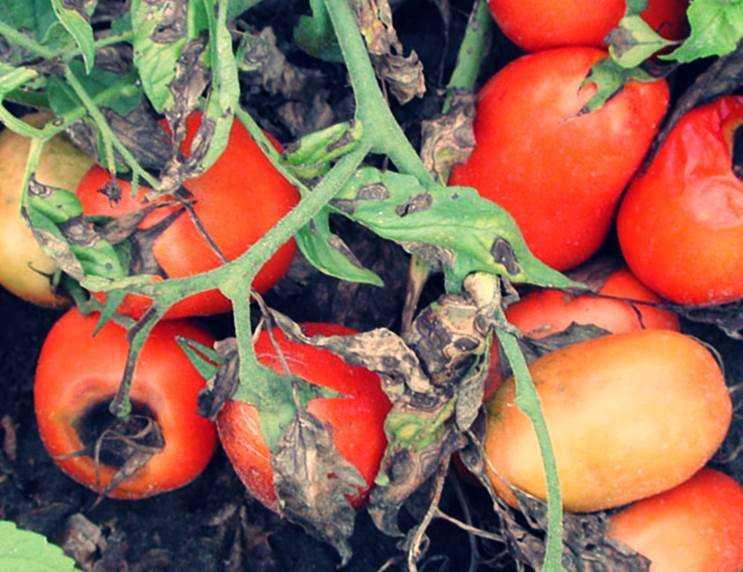 завяли помидоры
