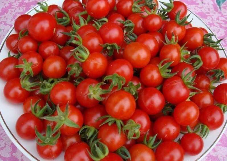 мелкоплодовитые помидоры