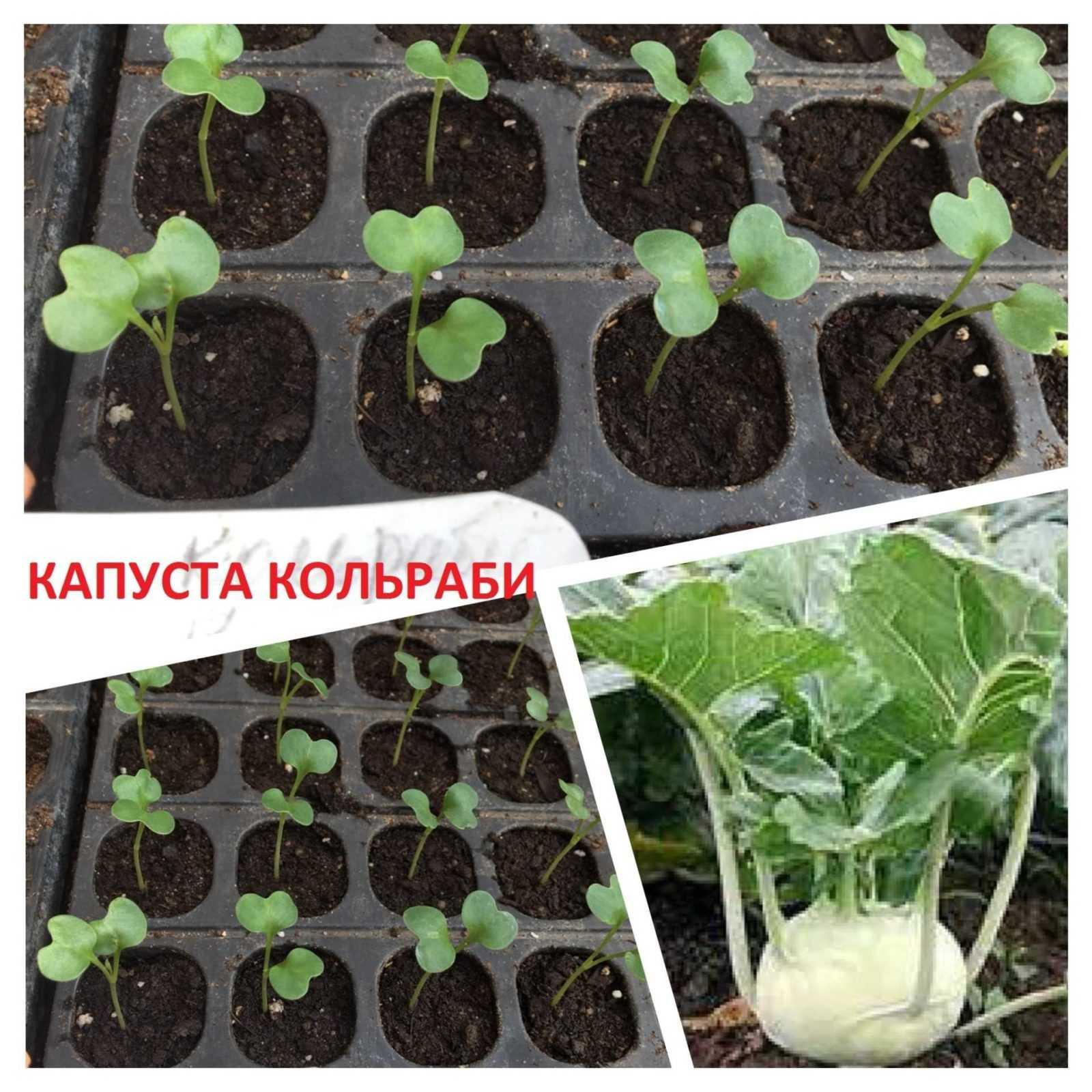 капуста кольраби как выращивать