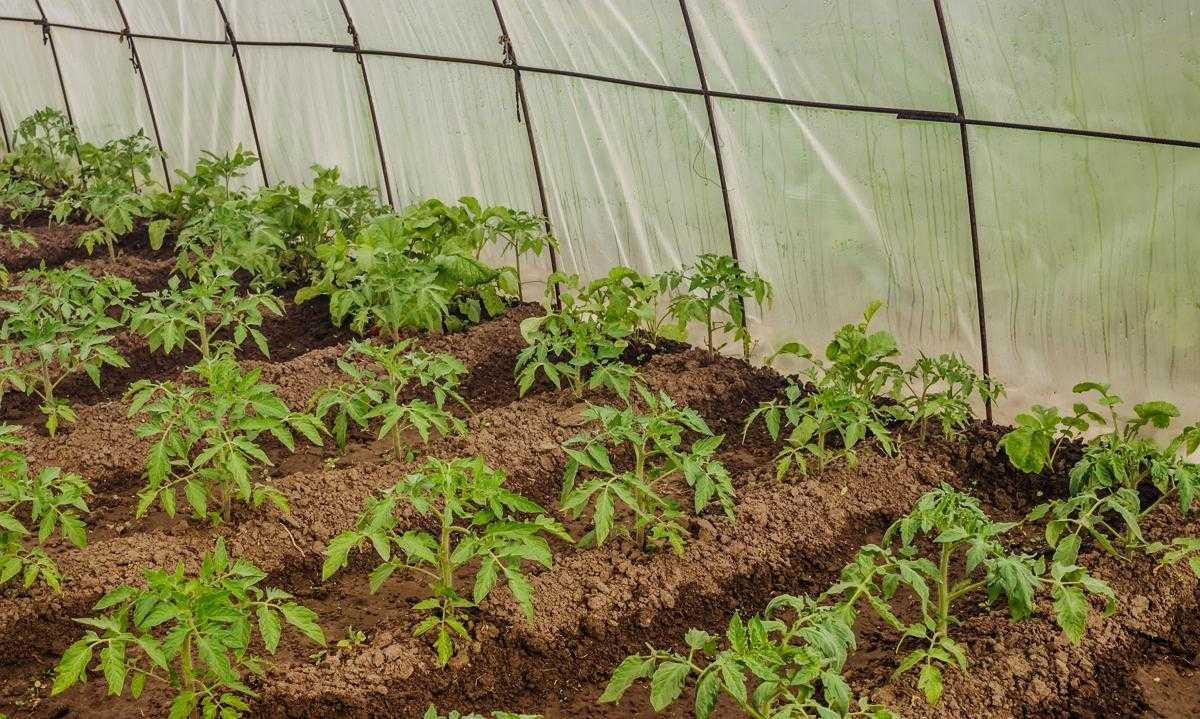 количество посадок томатов