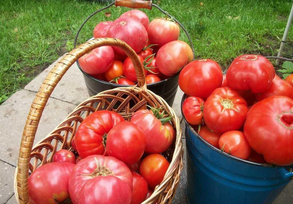 сахаристые помидоры
