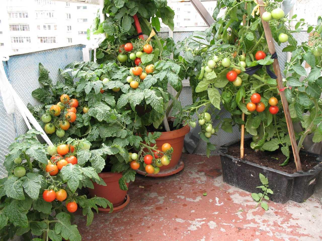 домашние помидоры черри