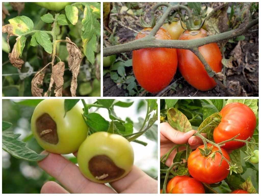 болезни помидор
