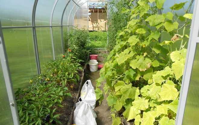совместные посадки огурцов, перцев и томатов