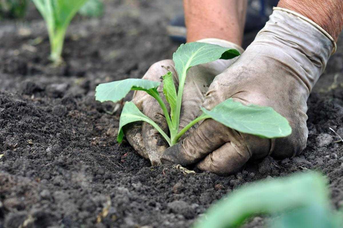 выращивание савойской капусты в открытом грунте