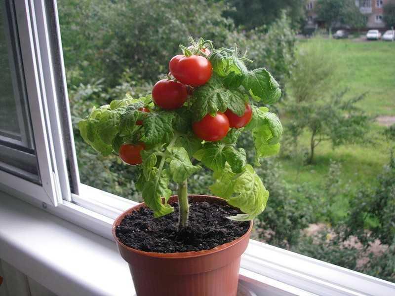 посадить помидоры черри дома