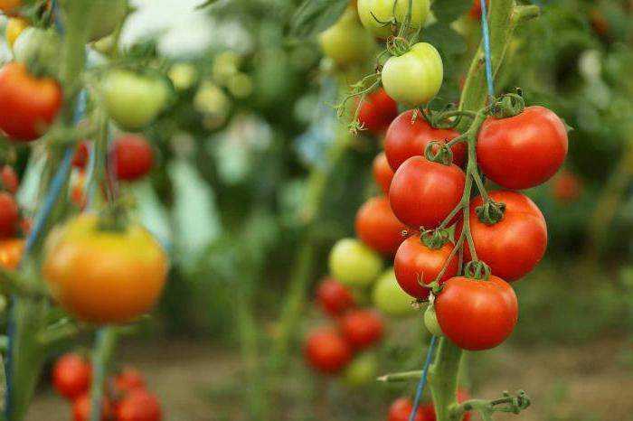 Что можно посадить в теплице вместе с помидорами