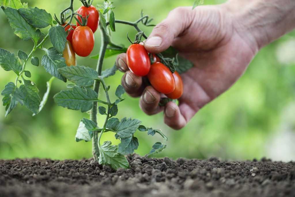 выращивание низкорослых помидор