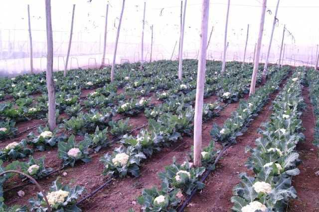 выращивание цветной капусты в теплице