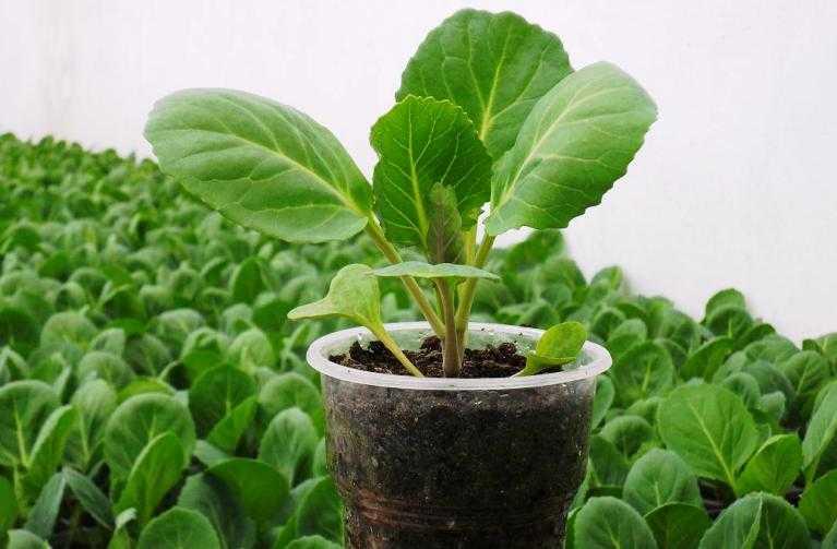 Выращивание цветной капусты из семян