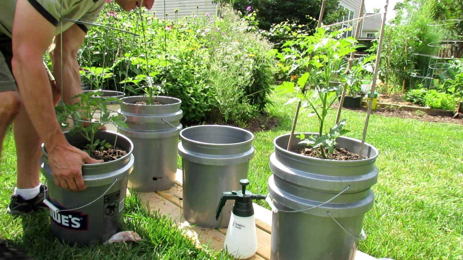 как посадить помидоры в ведрах