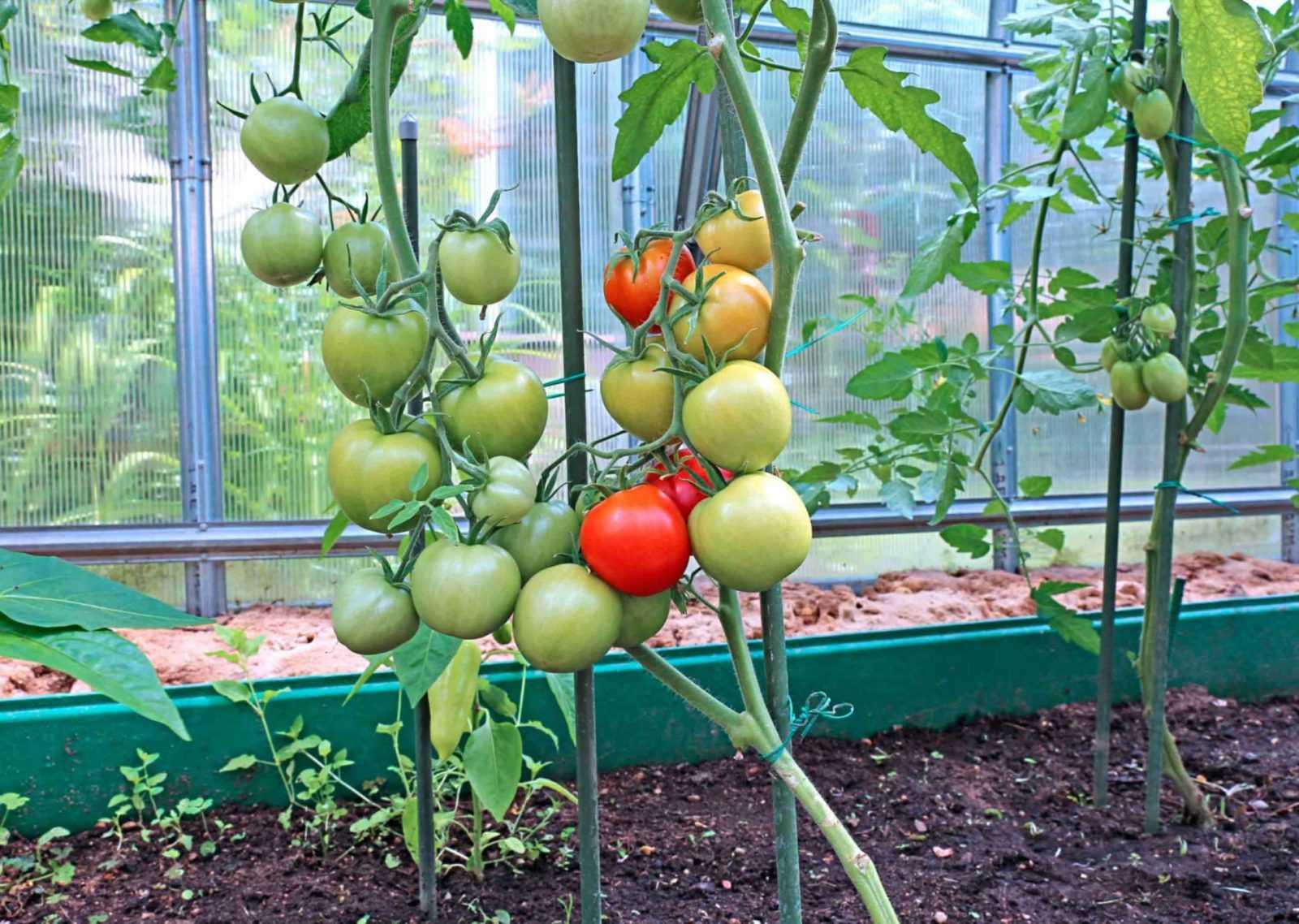 что можно посадить вместе с помидорами