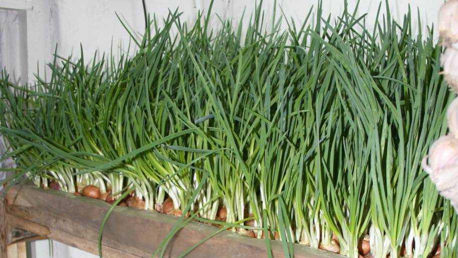 как посадить лук на зелень дома