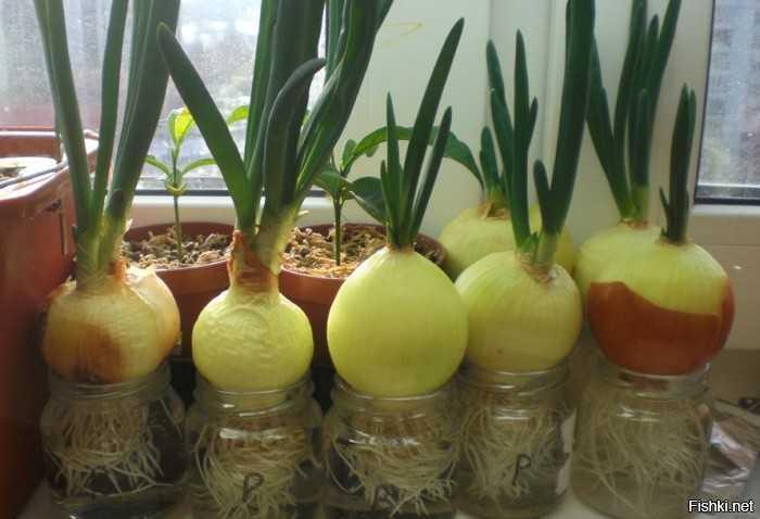 как правильно посадить лук на зелень дома
