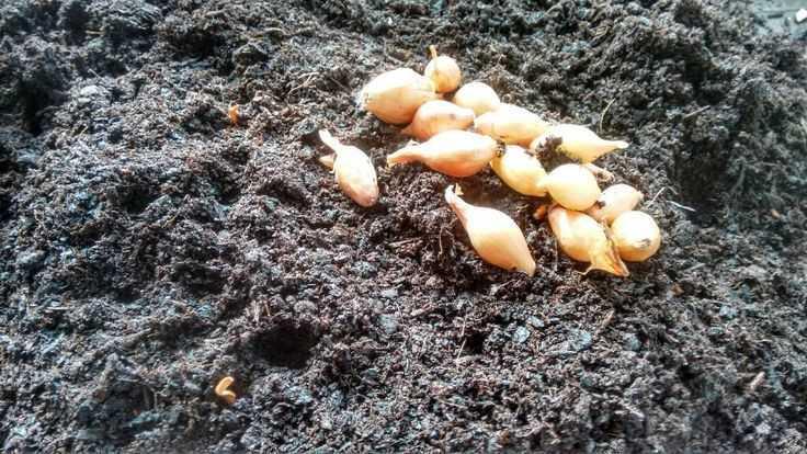 лук геркулес можно ли сажать под зиму