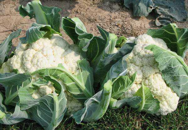 как вырастить на огороде цветную капусту