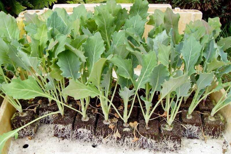 выращивание рассады кольраби