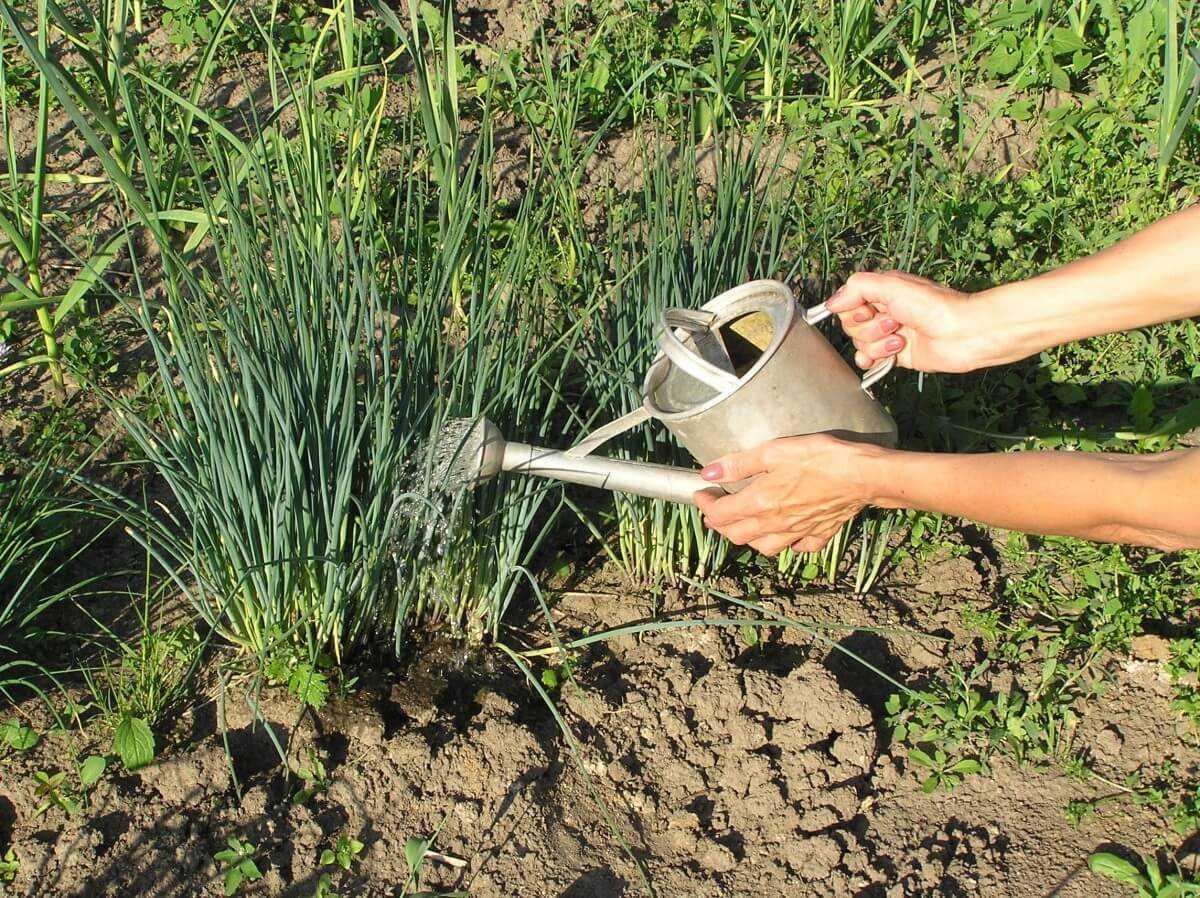 совместные посадки лука и чеснока