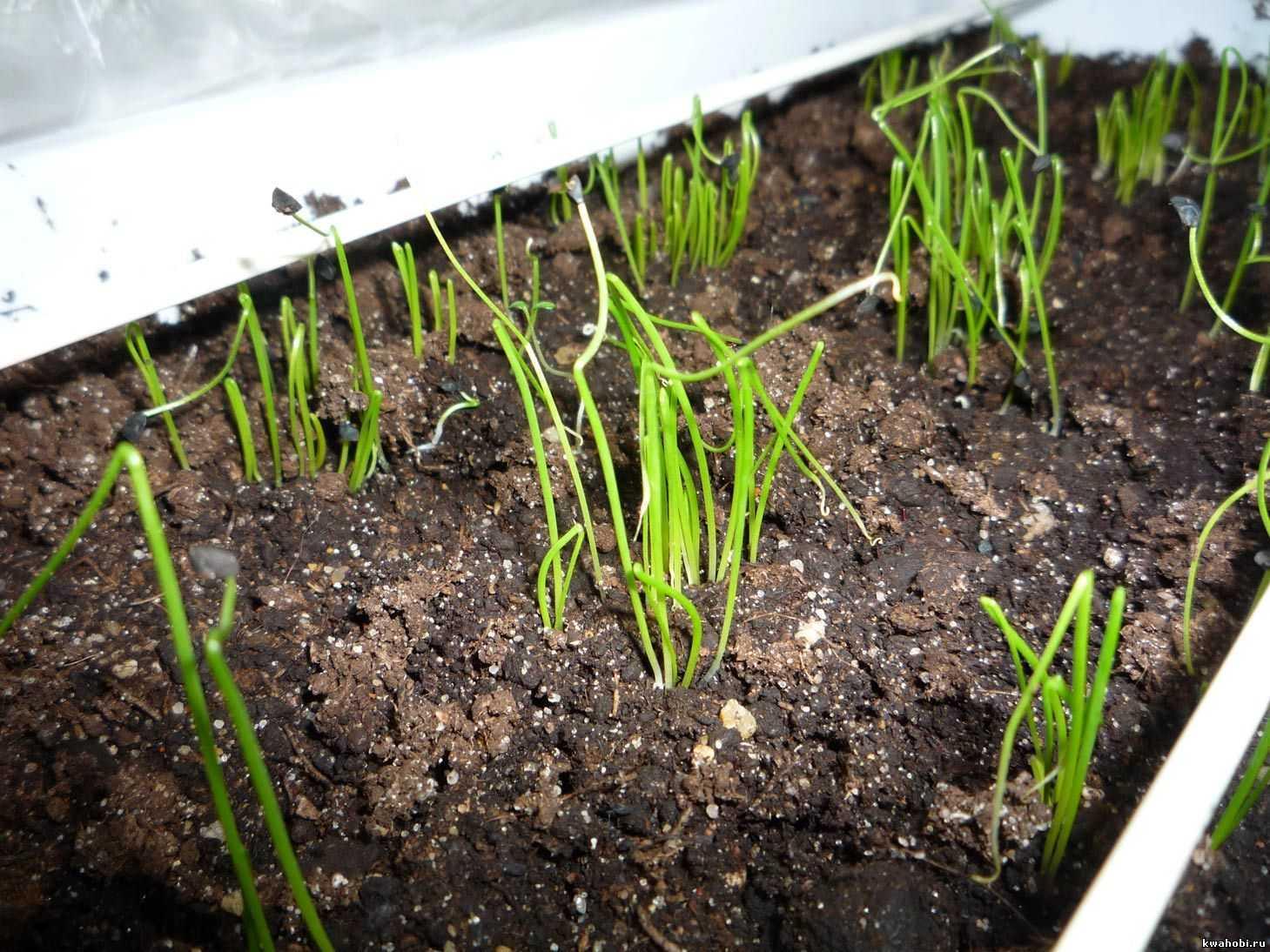 лук батун апрельский выращивание из семян