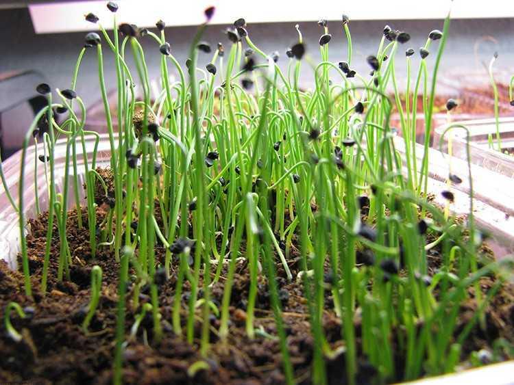 как правильно посадить лук семенами