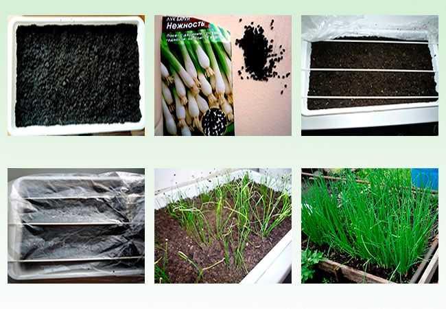 как правильно посадить лук батун