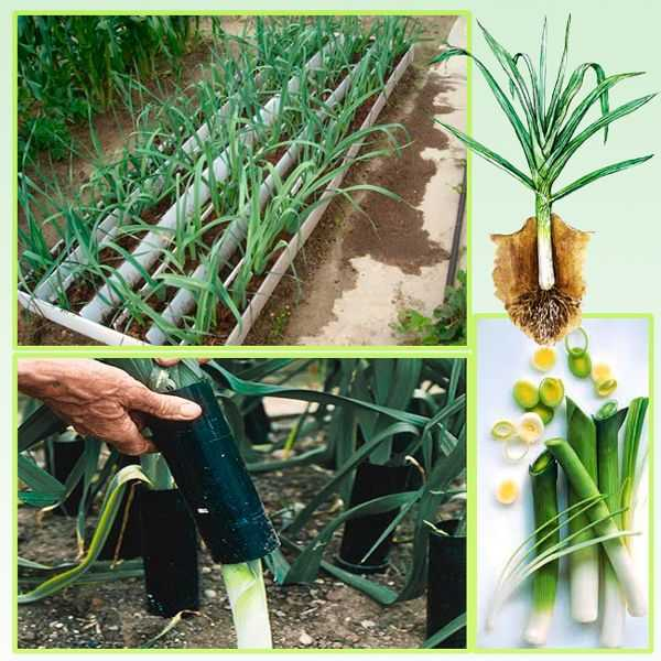 технология выращивания лука порея