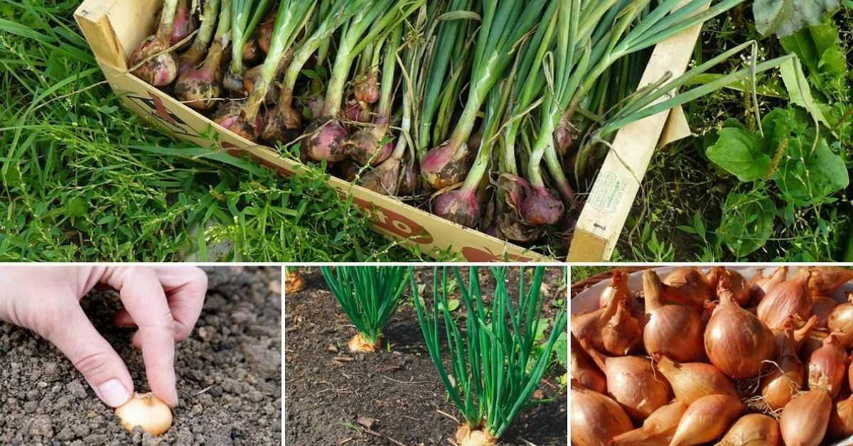 как посадить семейный лук
