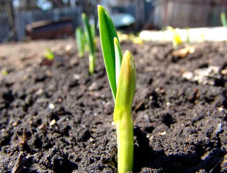 как посадить лук батун