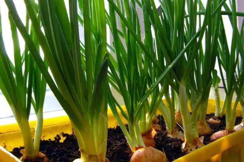 как правильно посадить лук на зелень