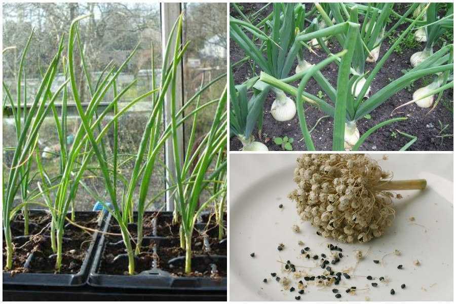 посадить семена лука