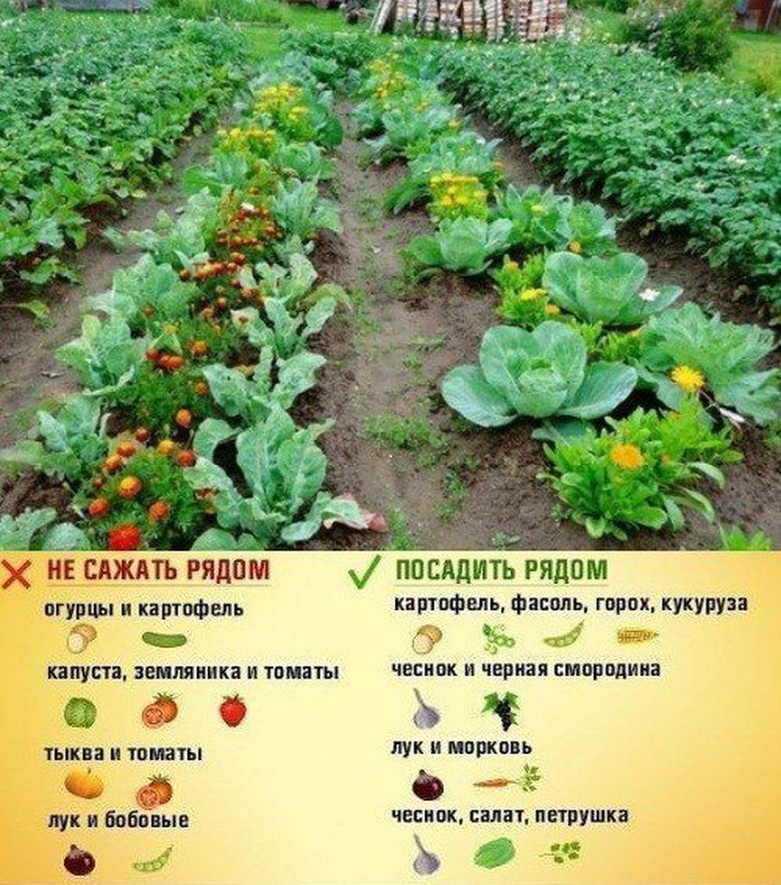 с чем рядом посадить картофель